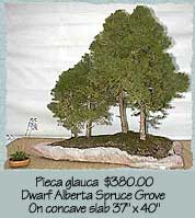Dwarf Alberts Spruce Grove on concave slab