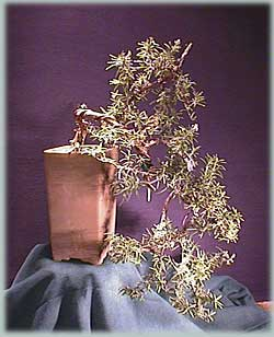 Rosmarinus officinalis L. bonsai tree