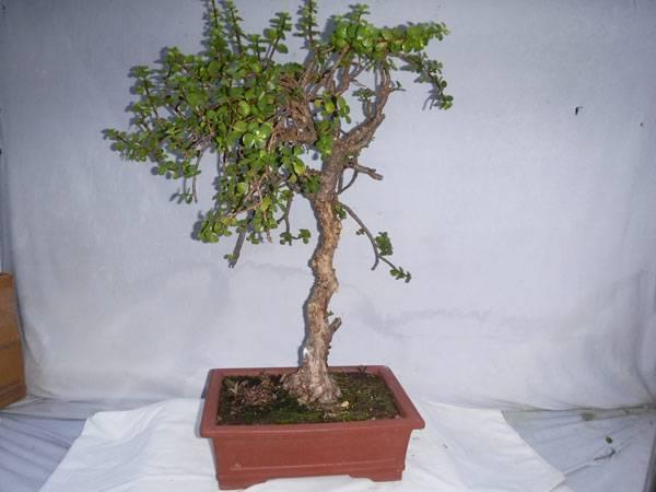 Dasu Bonsai Studios Pottery Bonsai Trees Induced Info