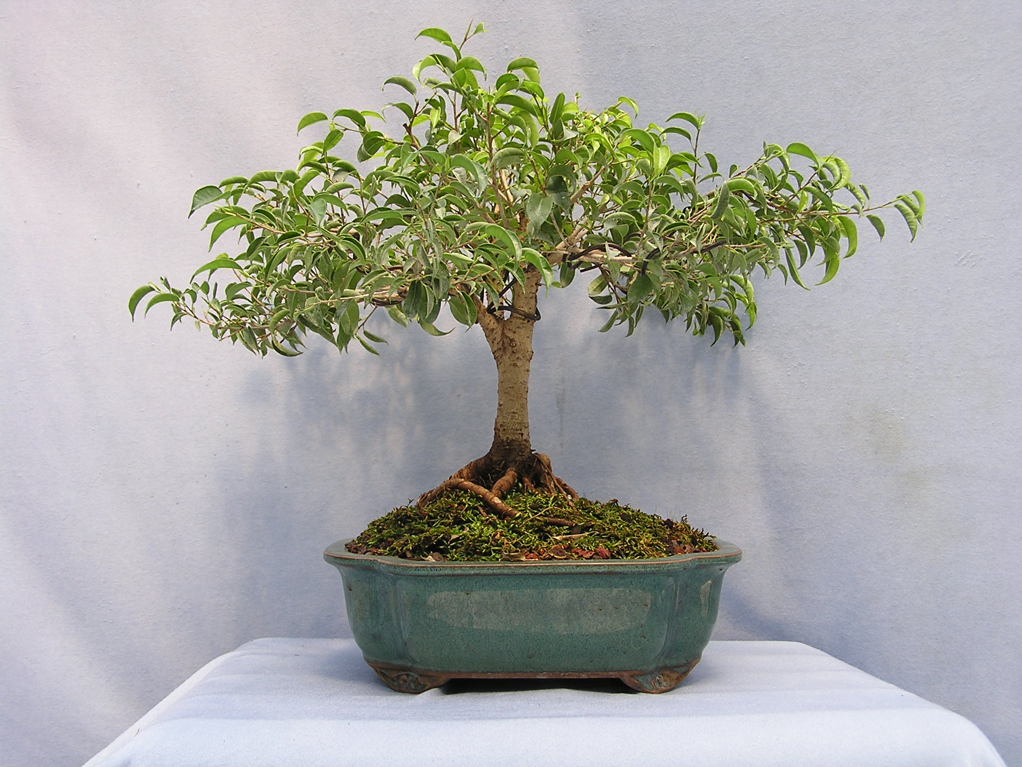 Dasu bonsai studios ficus benjamina toolittle over a rock for 1800 flowers bonsai